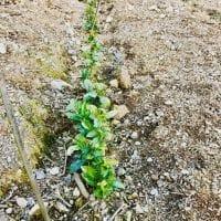 A la découverte des cultivars